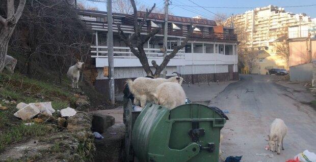 Рогатый скот заполонил популярный пляж в Одессе: кадры беспредела поражают
