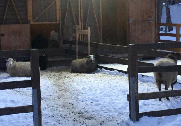 """В сети показали уникальную ферму среди многоэтажек Киева: """"свиньи, овцы и..."""""""
