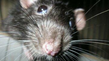 крыса, мыша
