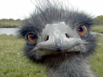 страус эму птица