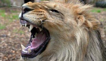 лев, животное