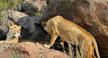 """Киевских львов выпустили на волю в Африке, впечатляющие фото: """"Душа радуется"""""""