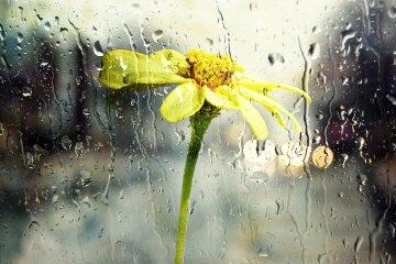 дождь, цветок, погода