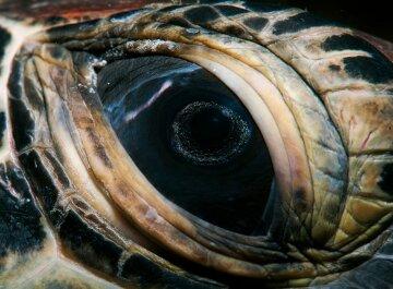 черепаха, глаза, рептилия
