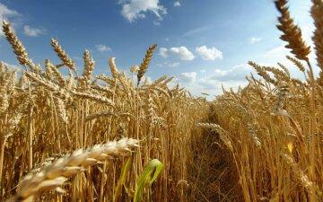 урожай пшеница