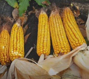 """""""Она золотая?"""": одесситов поразила цена на молодую кукурузу"""