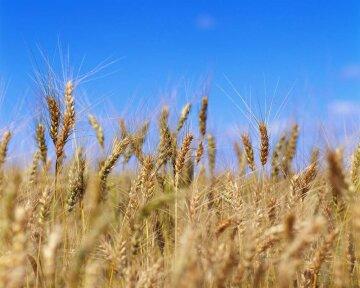 поле пшеница зерновые