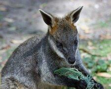 кенгуру валлаби