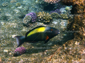 Parrot fish and reef