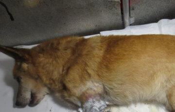 """""""Наслаждались болью"""": во Львове беззащитного пса нашпиговали свинцом, животное билось в контузиях"""