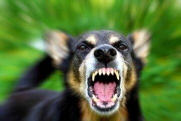 собака бойцовская