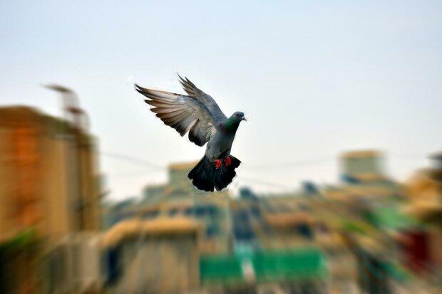 птицы, птица, голубь