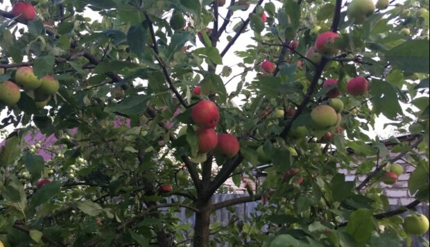 Харьковчане могут остаться без яблок и вишен в этом году: названа причина