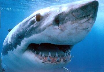 акула, море