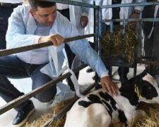 Гройсман с коровой
