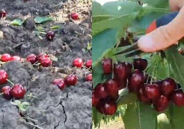 """Украинские фермеры уничтожают урожай черешни, болезненные кадры: """"Никому не нужен"""""""