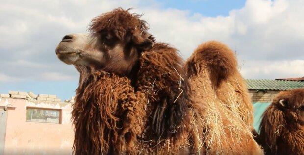 """У Харкові верблюд Саша став багатодітним батьком, фото малюків: """"Два синочка і лапочка-дочка"""""""