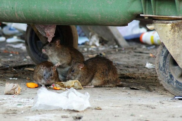 Киев атаковали полчища крыс, бегают среди бела дня: Настоящее логово