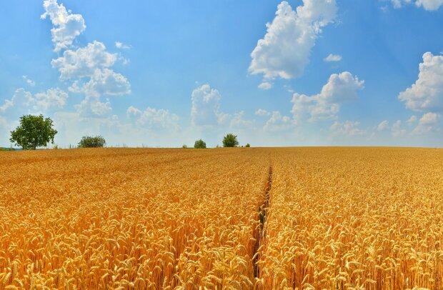 земля, поле, пшеница