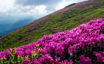 червона рута, карпаты, цветы