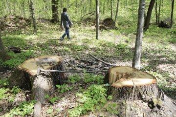 Під Харковом лісничий зрубав понад 250 дубів, фото: втрати колосальні