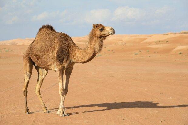 верблюд пустыня оаэ