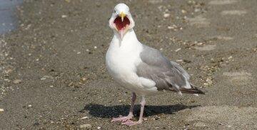 чайка птица