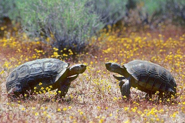 пустынные черепахи