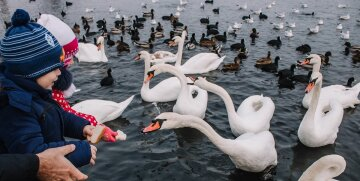 Зима заманила в Одессу стаи благородных птиц, жители в восторге: фото красоты