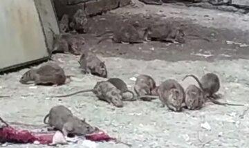 """""""Тысяча штук их тут"""": огромные крысы поселились в общежитии в центре Одессы, видео"""