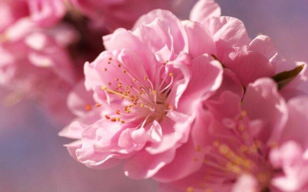 квіти, сакура