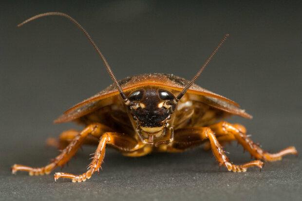 Таракан насекомые