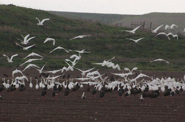 """Весна заманила стаи дивных птиц в Одесскую область, фото: """"Прилетели из далекой Африки"""""""