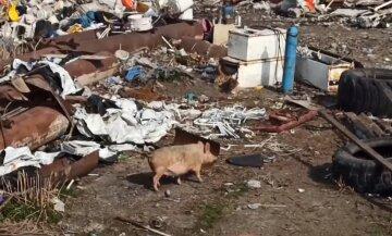 Моторошне звалище під Києвом: у горах сміття бігають свині і лежать тіла тварин, відео