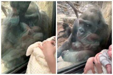 Горилла любовалась ребенком и познакомила его со своим малышом: видео эмоциональной встречи