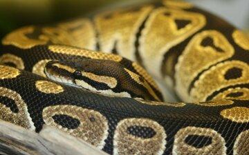 питон, змея