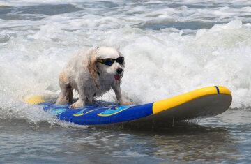серфинг собачий