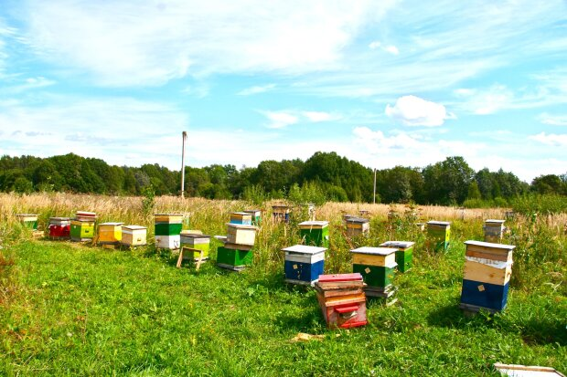 улий, пчелы, оса