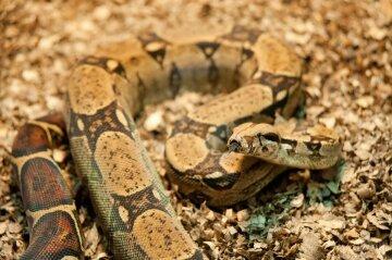 Удав обычный змея рептилия
