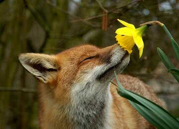 весна лиса