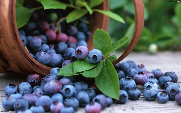 лесные ягоды, черника