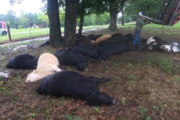 Блискавка вбила два десятки корів