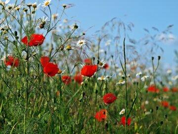поле, цветы, лето, маки, ромашки