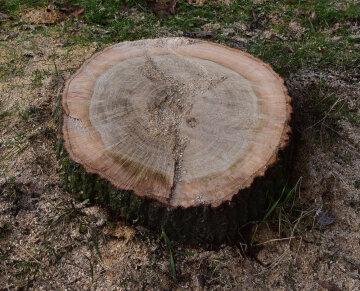 пень, дерево