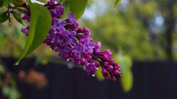 погода, весна, сирень, цветы