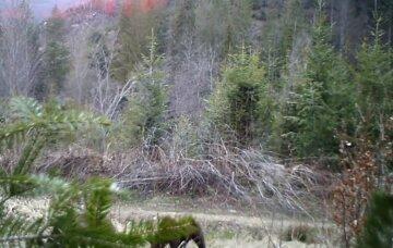 Их осталось всего 20: семью медведей удалось заснять в украинских лесах, уникальные кадры