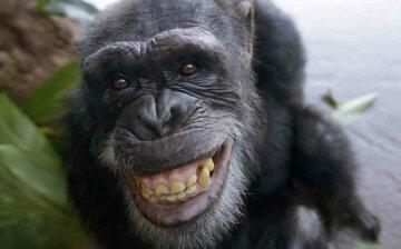 шимпанзе обезьяна