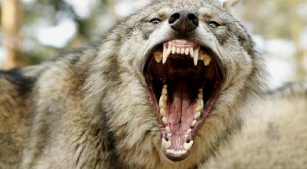 пасть волк