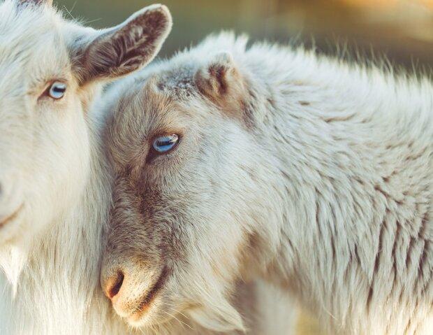 овца вівця