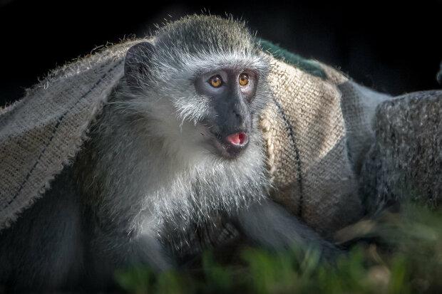 обезьяна, зоопарк